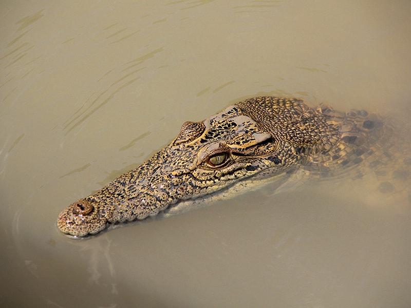 Crocodile Australie en Van