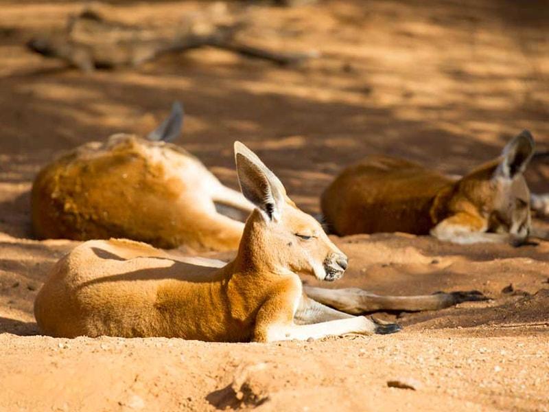 Kangourou Alice Springs Australie en Van