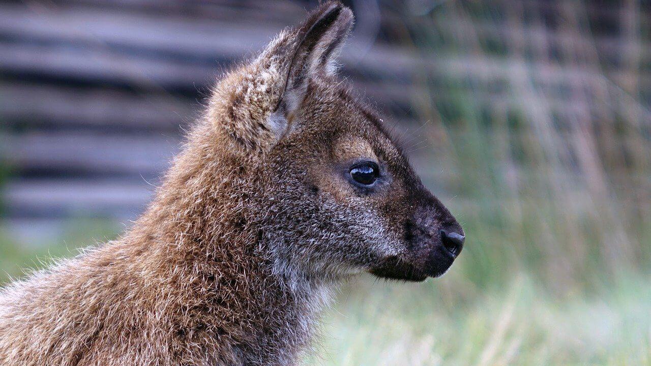 tasmania animal